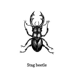 stag beetle drawn insect in vector image