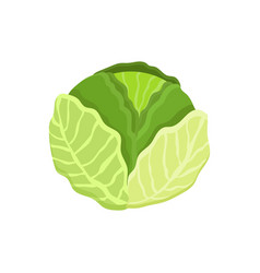 cabbage healthy vegetable vector image