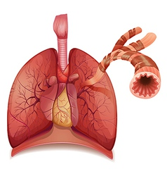 Lungs and bronchus vector