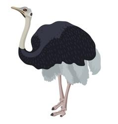 ostrich bird detalised on white background vector image