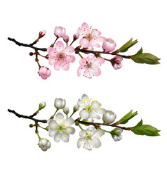 set of blossoming cherry branches vector image