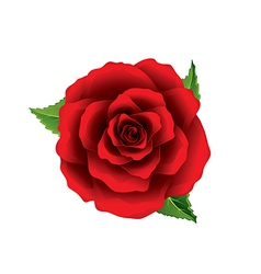 Red rose flower top view isolated on white vector