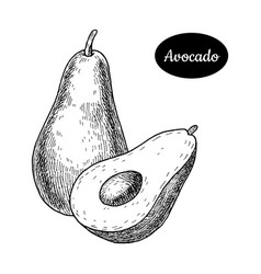 hand drawn sketch style fresh avocado vector image vector image