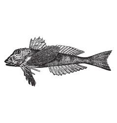 Northern sea robin vintage vector