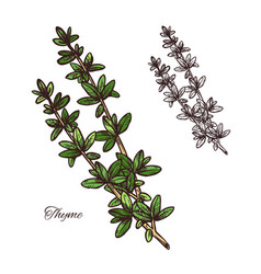 Thyme spice herb sketch of green branch with leaf vector