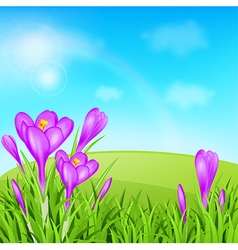 Violet crocuses and green grass vector image