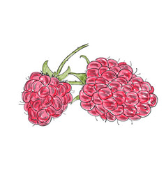 hand drawn watercolor raspberry isolated on white vector image