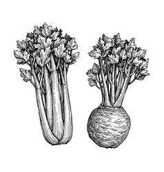 ink sketch celery vector image