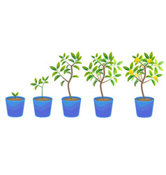 Plant growing lemon tree in pot vector