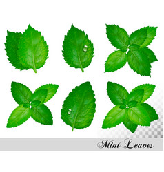 collection fresh mint and melissa leaves set vector image