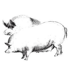 Hogs vintage vector