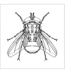 line drawing of fly -simple line vector image vector image