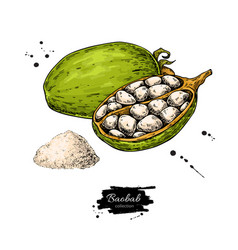 baobab superfood drawing organic healthy vector image
