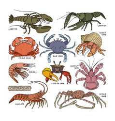 crustacean crab prawns ocean lobster and crawfish vector image