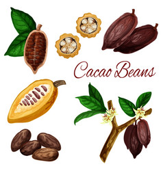 cocoa beans cacao pod plant chocolate ingredient vector image