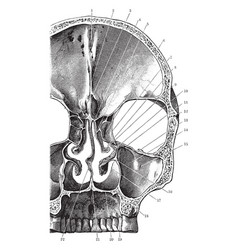 Coronal section of skull vintage vector
