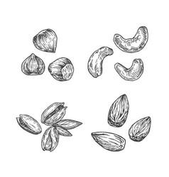 Nuts almond cashew hazelnut vector