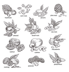 Nuts with nutshell isolated sketches natural food vector