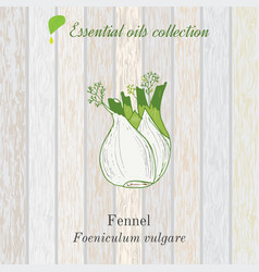 pure essential oil collection fennel wooden vector image