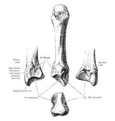 Third metacarpal bone vintage vector