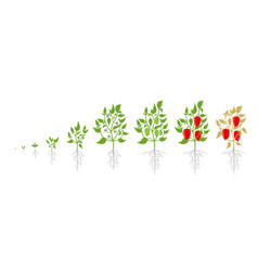 Growth stages bell pepper plant vector