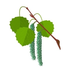 Aspen with leaves and male flowers isolated vector image