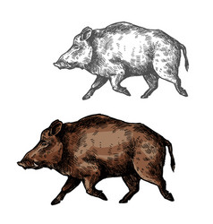 Boar aper sketch wild animal vector