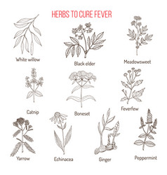 Herbs for fever cure vector