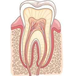 Tooth Section Medical vector image