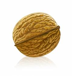 Walnut fruit isolated vector