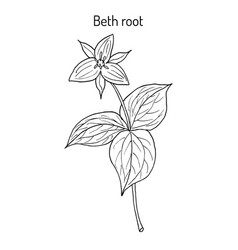 Beth root trillium erectum or wake-robin vector