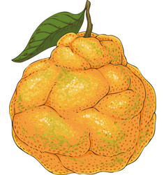 ripe orange ugli fruit vector image