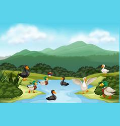 Ducks in pond scene vector