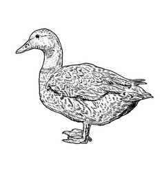 wild duck on white background design element vector image