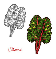 chard or beet spinach green leaf vegetable sketch vector image