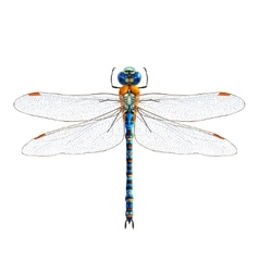 Dragonfly realistic isolated vector image