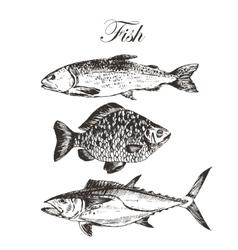 Fish sketch drawing - salmon trout carp vector