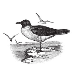 Hooded gull vintage vector