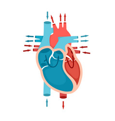 Human heart anatomy with blood flow circulation vector