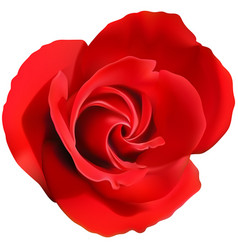 red rose flower isolated on a white vector image