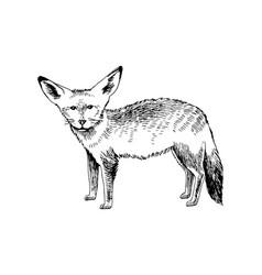 hand drawn big-eared fox vector image