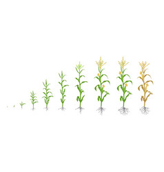 Growth stages of maize plant corn phases vector