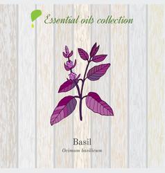 Basil essential oil label aromatic plant vector