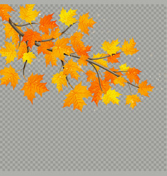 maple branch with colorful leaves isolated on vector image