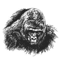 Hand sketch gorilla head vector image vector image