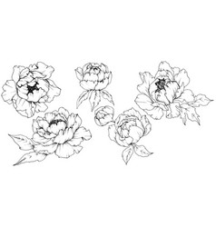 Wildflower peony in a style isolated black vector