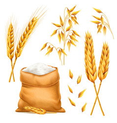 realistic bunch of wheat oats or barley with bag vector image