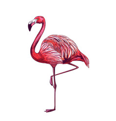 standing flamingo on white bg full color sketch vector image