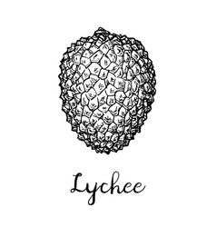 Ink sketch of lychee fruits vector