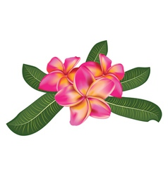 Pink plumeria with leaves vector